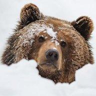bear66